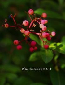 viburnum_lantanoides_fruit